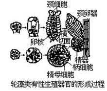 轮藻的生殖系统